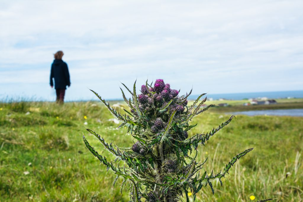 Scottish thistle in the hebrides