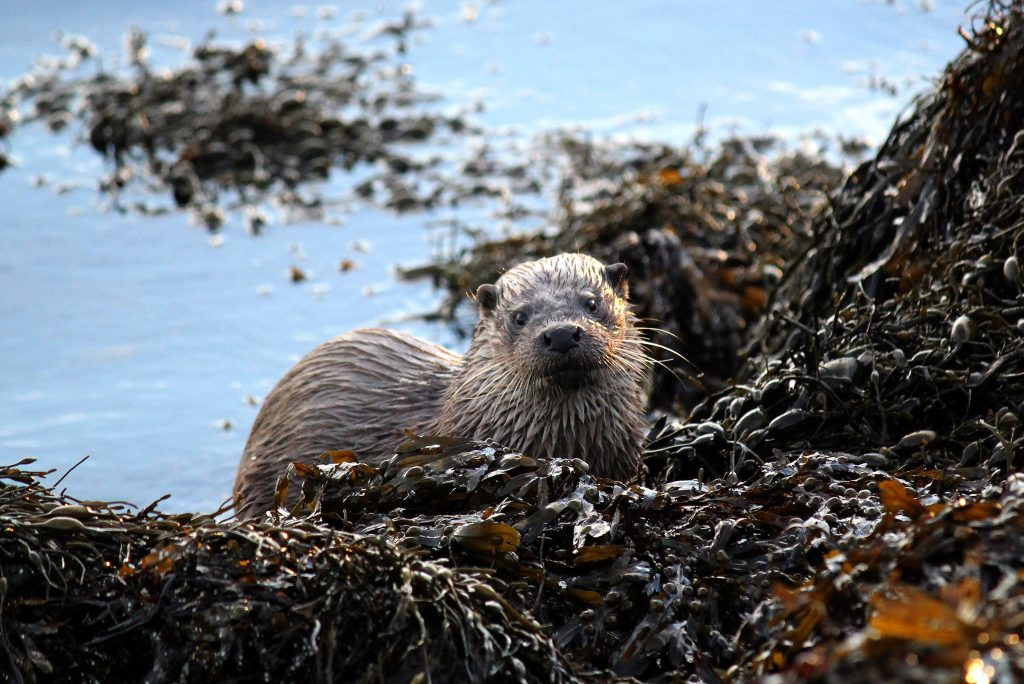 Otter on North Uist by Eilidh Carr